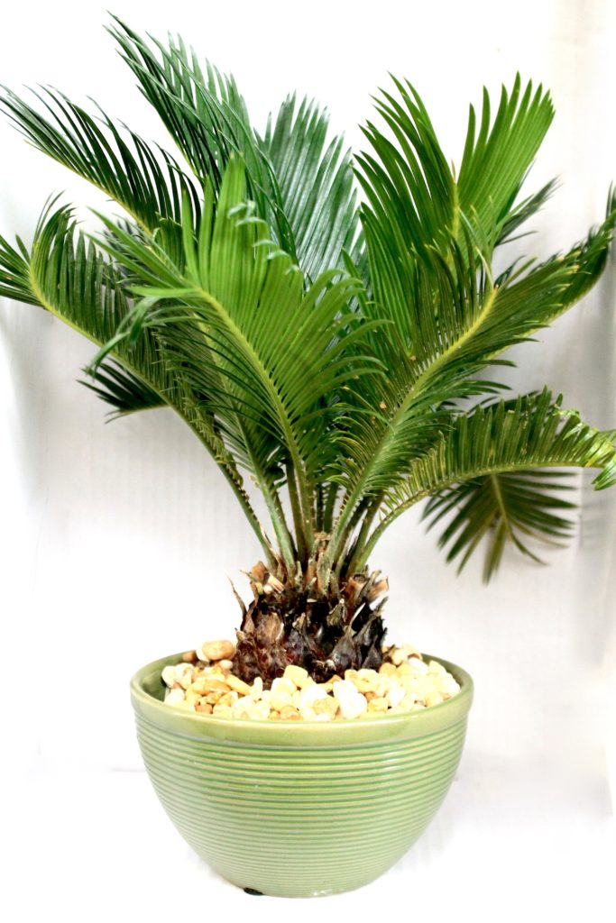 Sago Palm :: Toxic Plants to Pets :: Leafandpaw.com