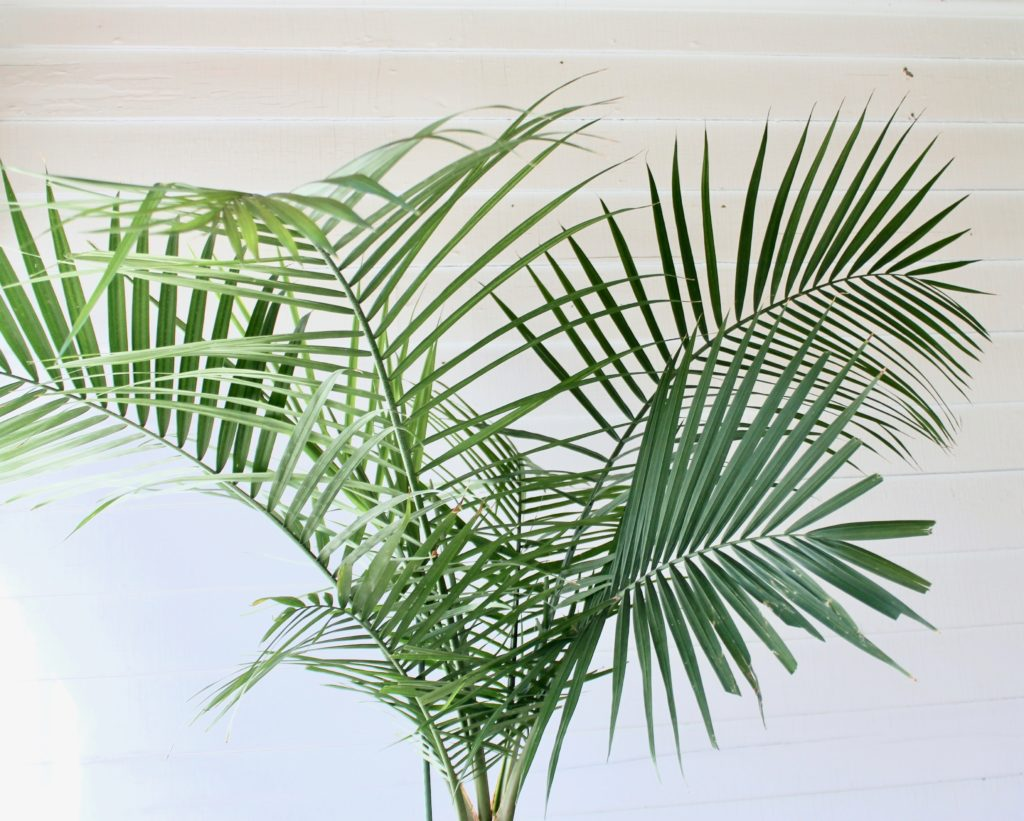 Plant Portrait: Indoor Palms | Leaf and Paw on