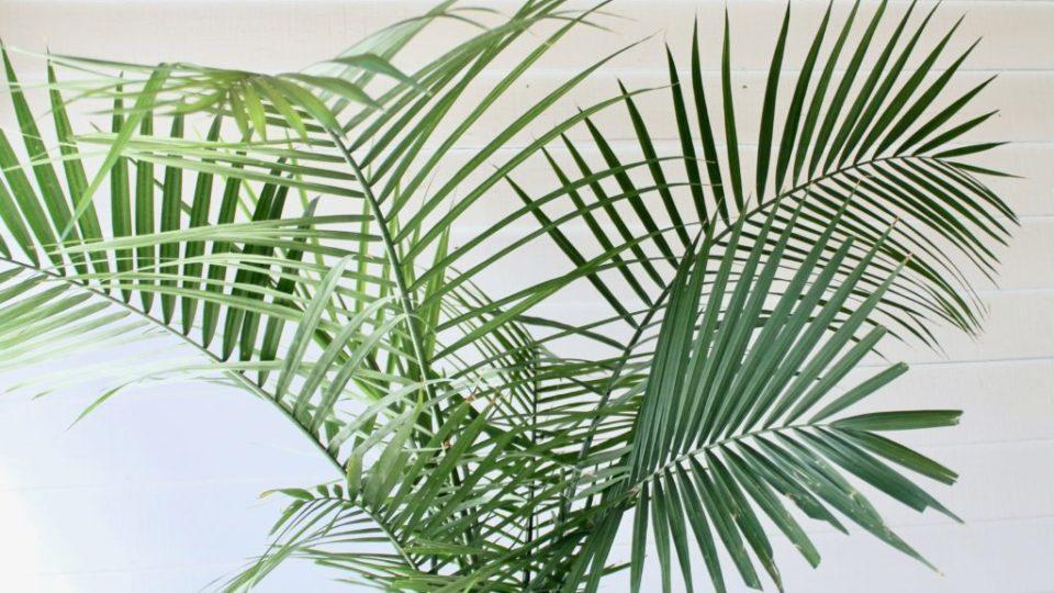 Plant Portrait: Indoor Palms