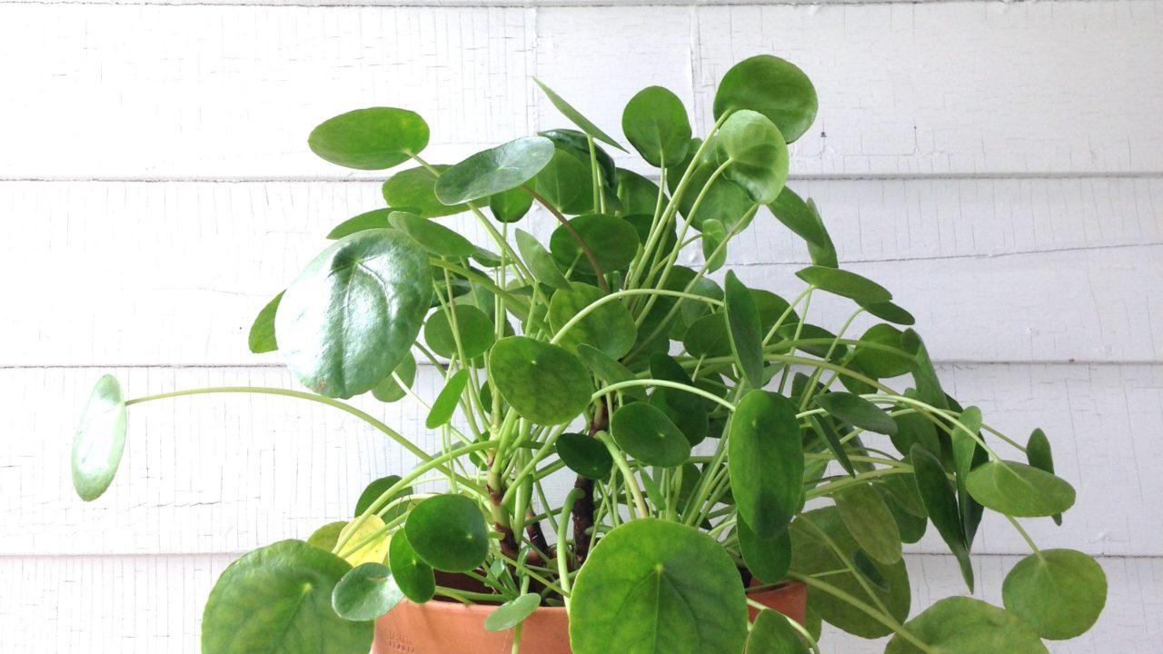Plant Portrait: Pilea Peperomioides
