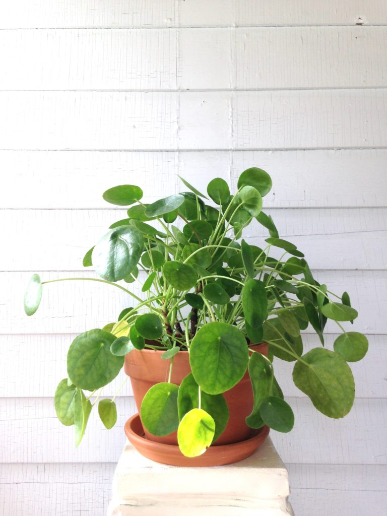 how to care for pilea peperomioides