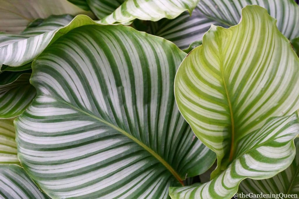 Calathea Orbifolia :: leafandpaw.com