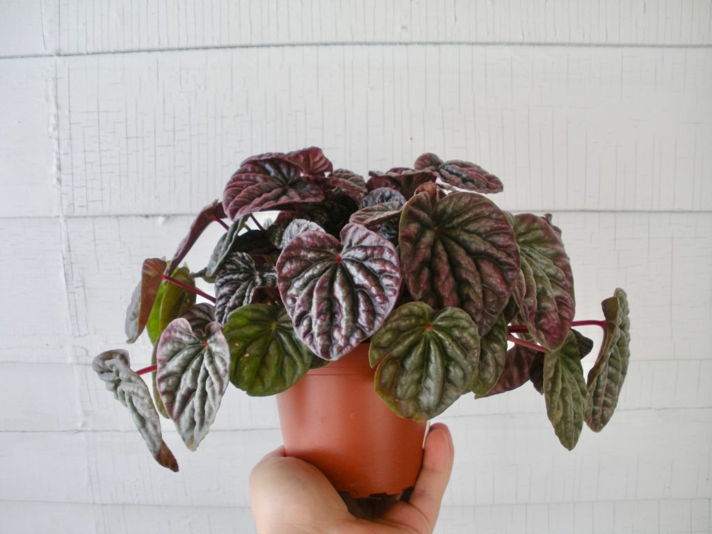 Pet Safe Peperomia - Ripple Peperomia