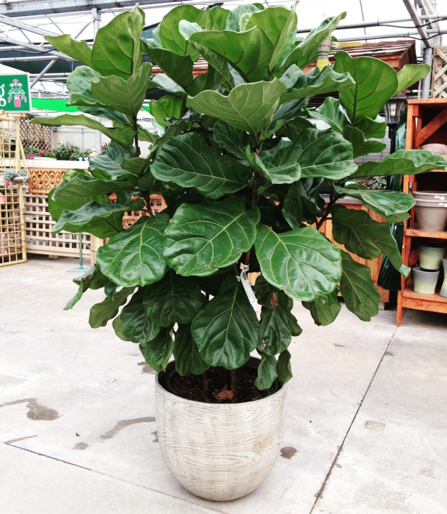 Fiddle Leaf Fig Care