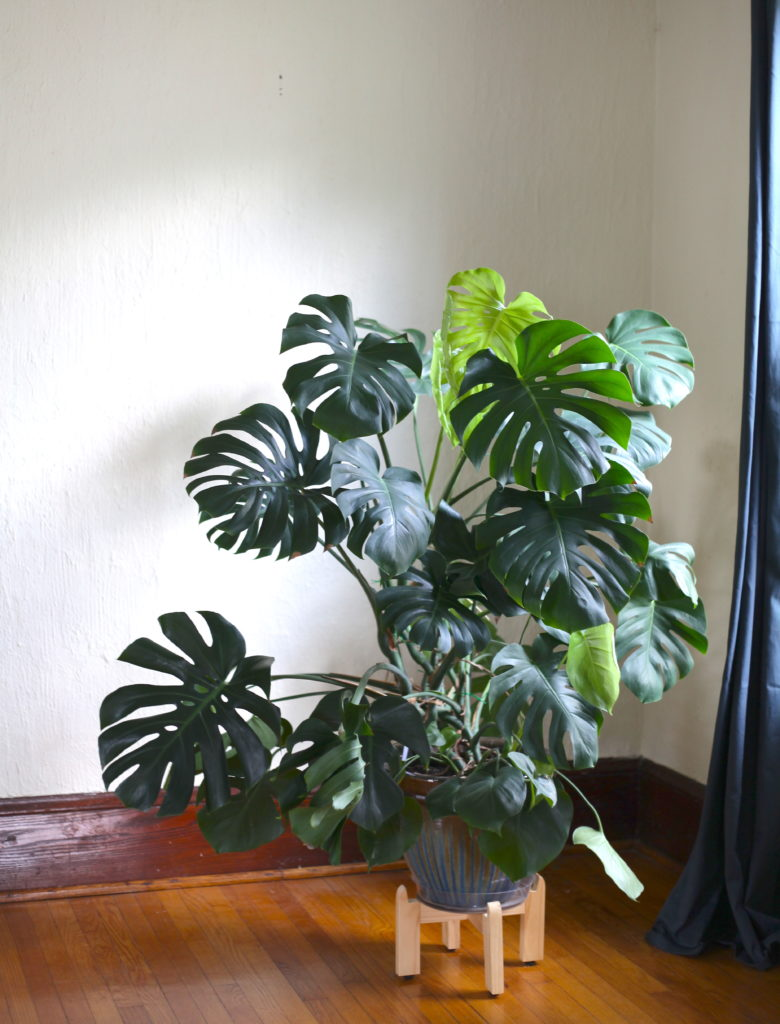 How to Propagate a Monstera.