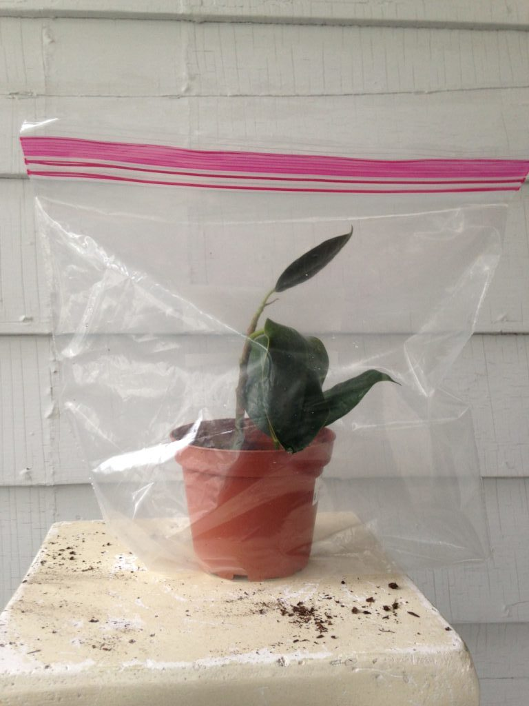 Propagating a rubber tree
