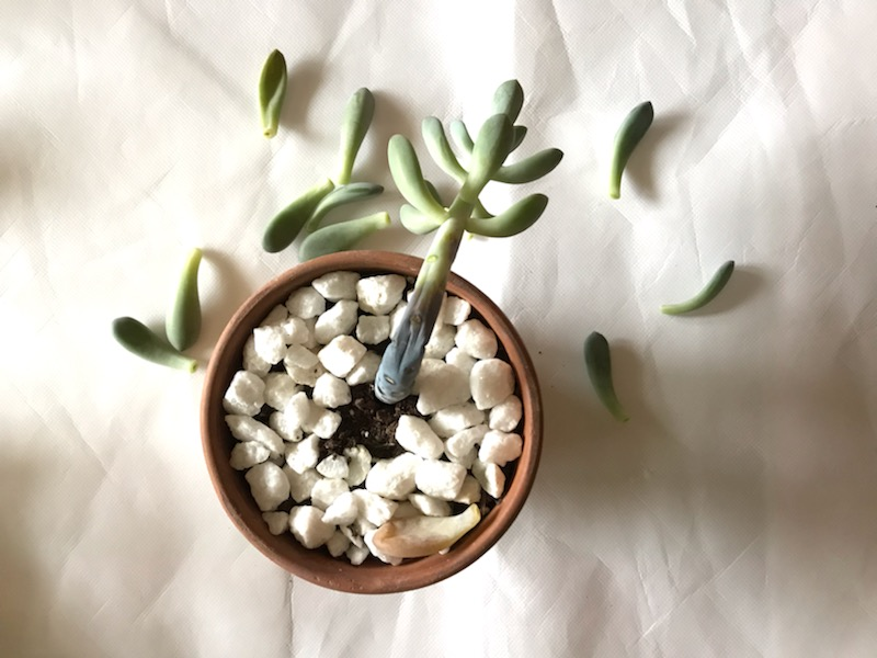 Why Your Succulents Are Dying