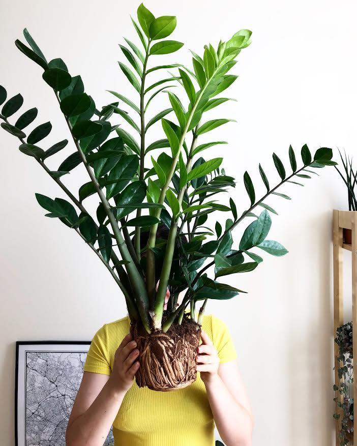 Huge ZZ Plant