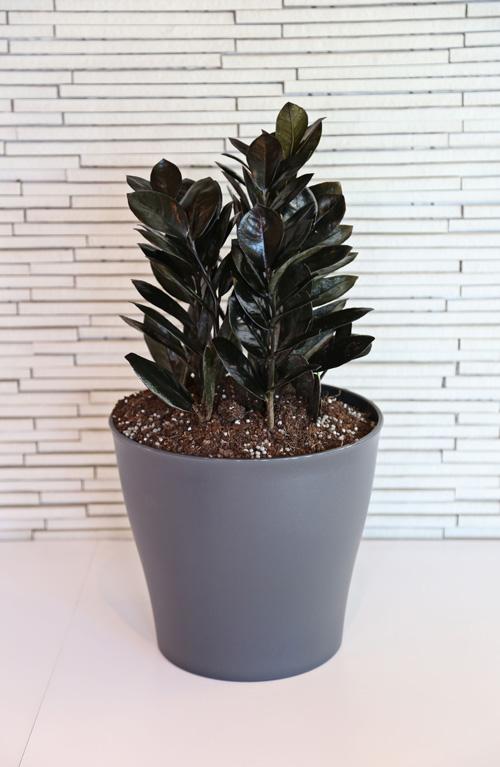 Raven purple ZZ plant