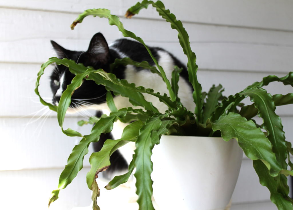 Ferns - Safe for Cats!