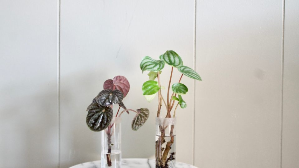 How to: Propagate a Watermelon Peperomia