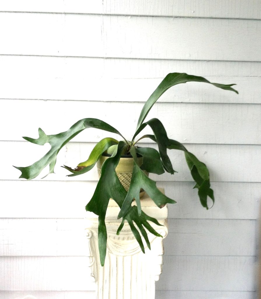 Staghorn Fern : leaf and paw