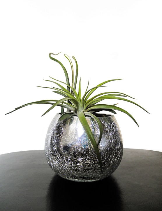 Air Plants - Safe for Cats!