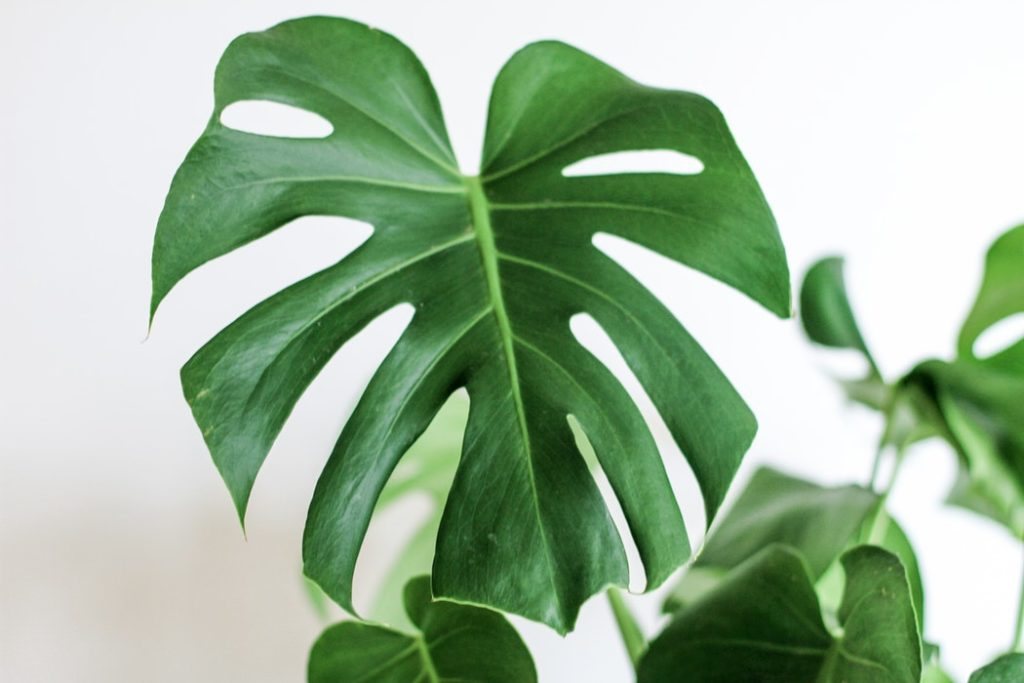 Monstera varieties :: Leafandpaw.com