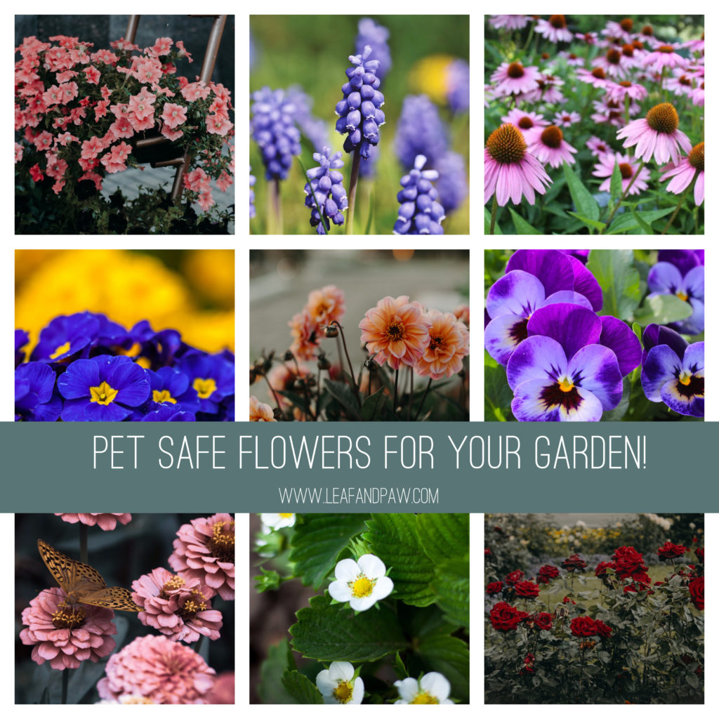 Pet Safe Flowers for the Garden