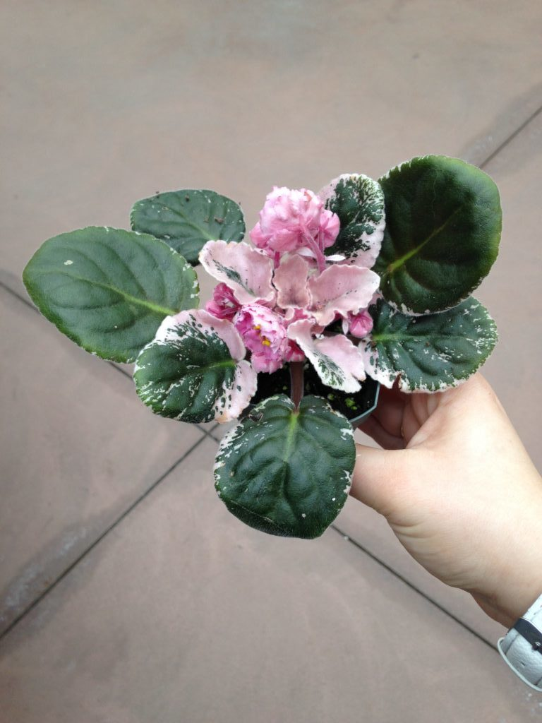 Variegated African Violet - Air Purifying Plants