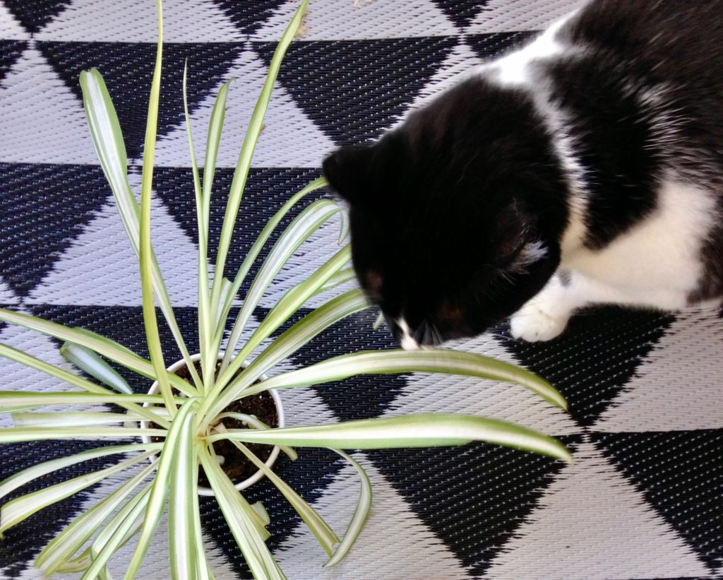 Spider Plants  - Air Purifying Plants