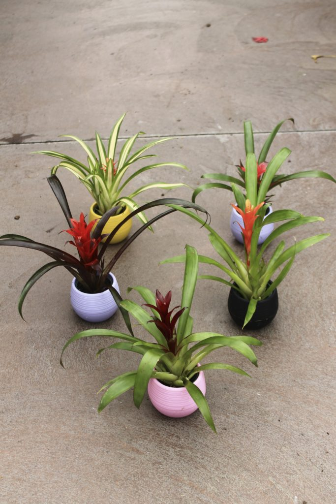 Bromeliads - Air Purifying Plants