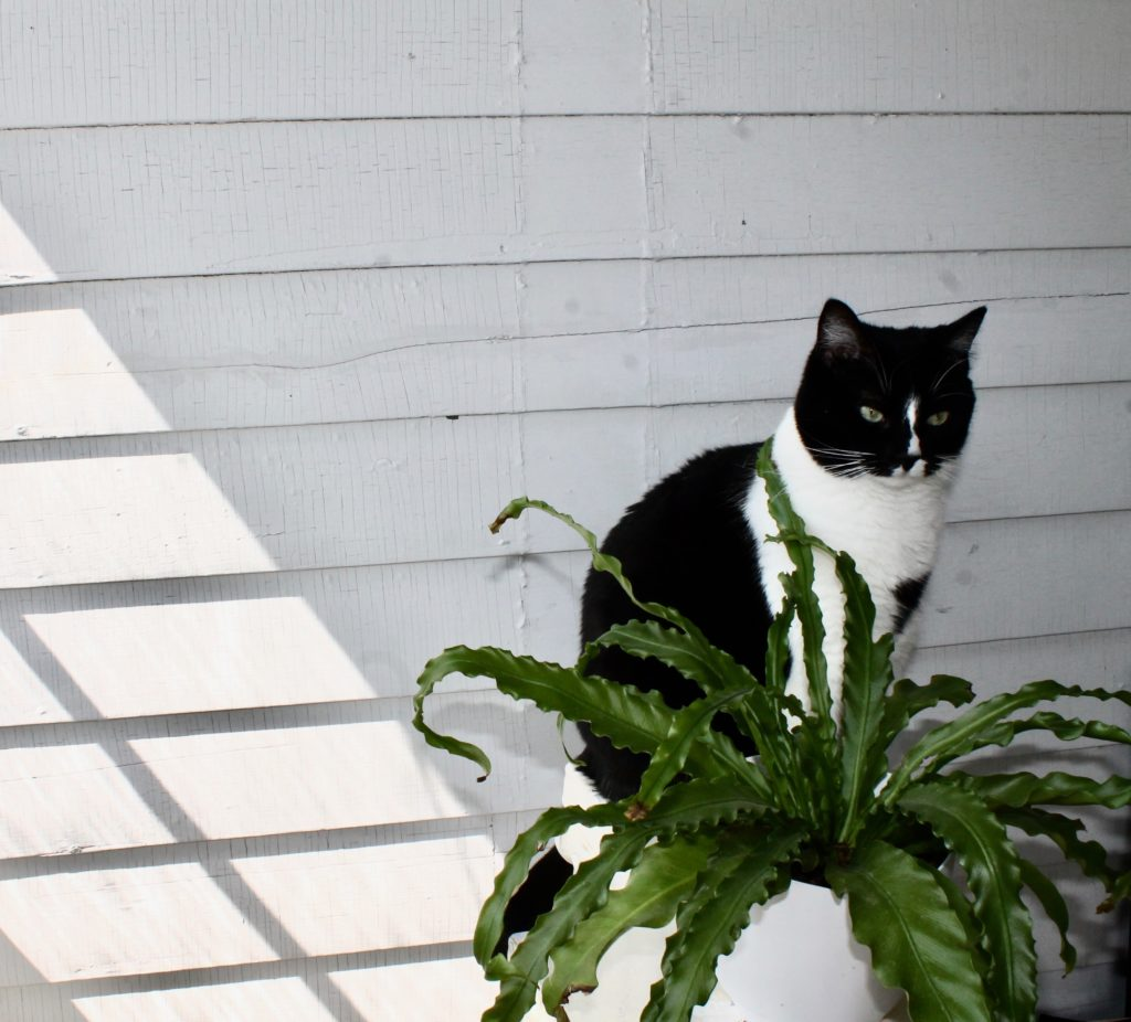 Crispy Fern - Air Purifying Plants
