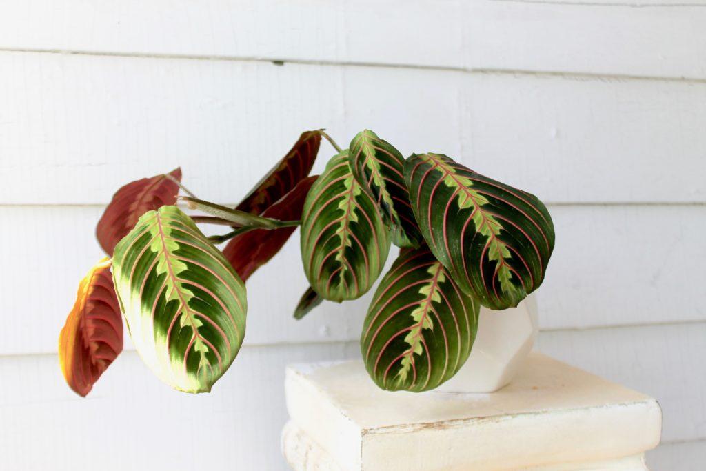 Maranta - Air Purifying Plants