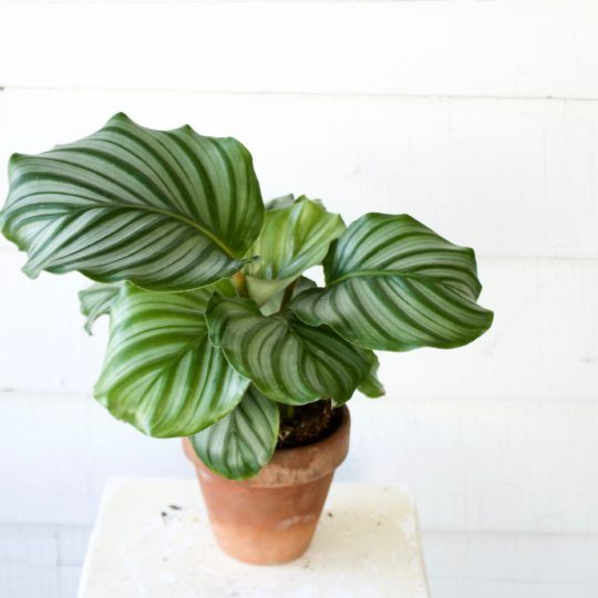 Calathea - Air Purifying Plants