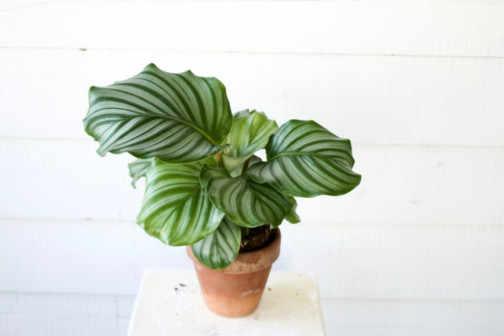 Air Purifying Pet Safe Plants