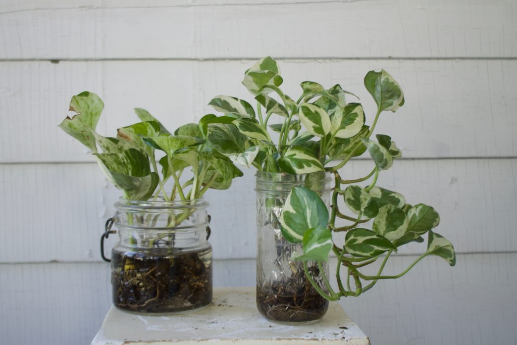 Pothos Cuttings in Water