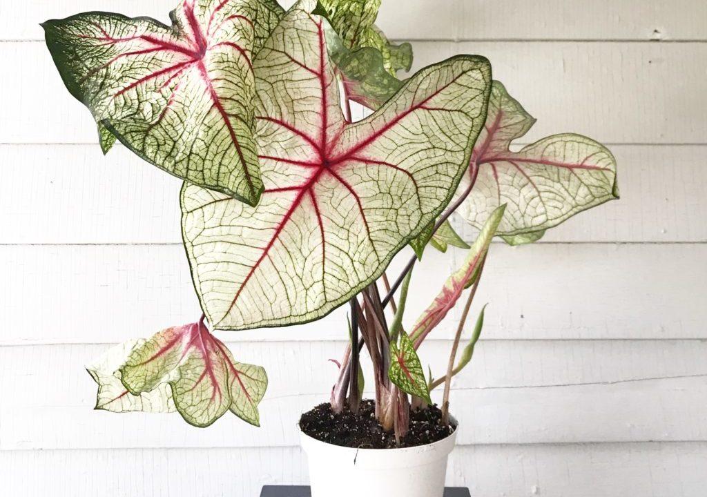 Plant Portrait: Caladium