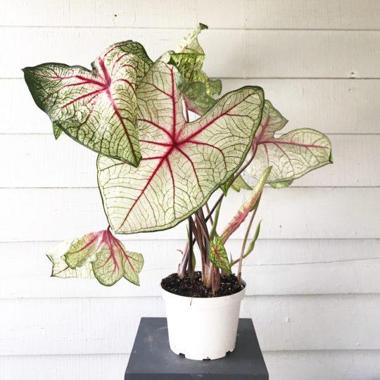 Caladium : leafandpaw.com