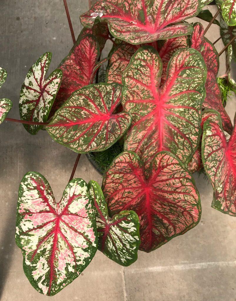 Caladium Varieties : Leafandpaw.com