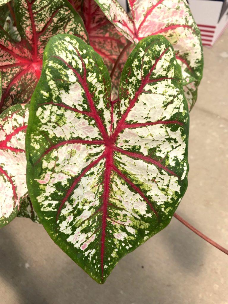 Colocasia : Leafandpaw.com