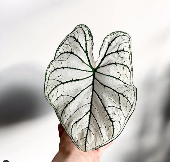 White Caladium : Leafandpaw.com