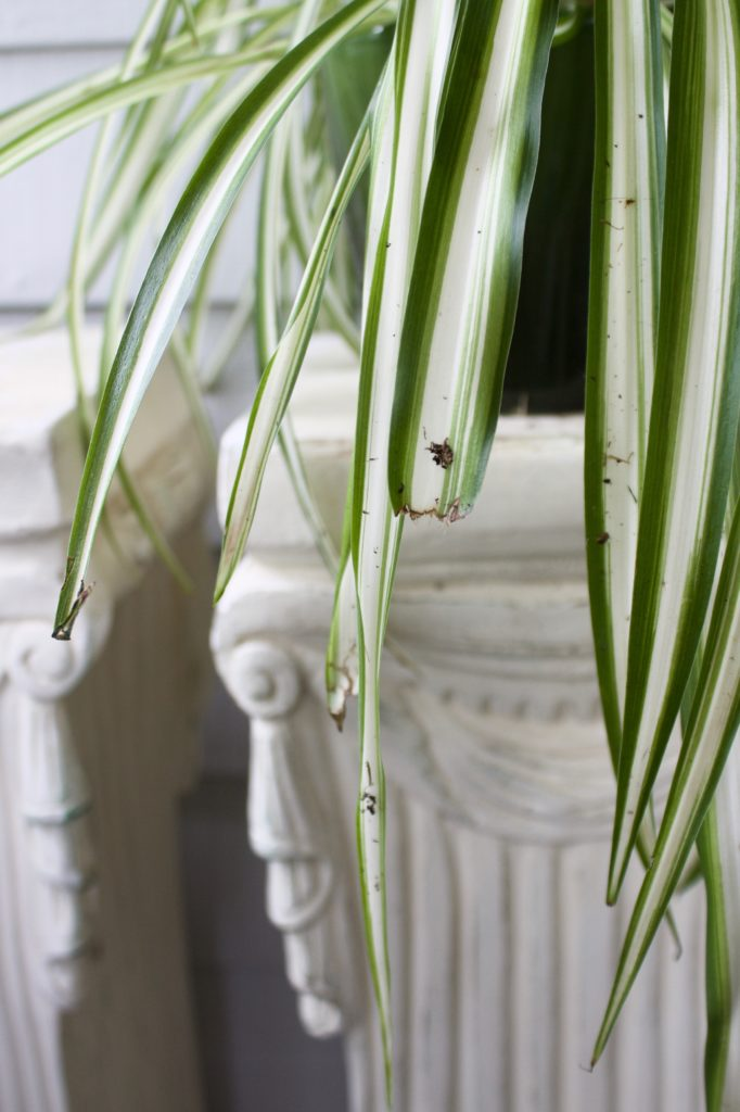 Cat eaten spider plant leaves