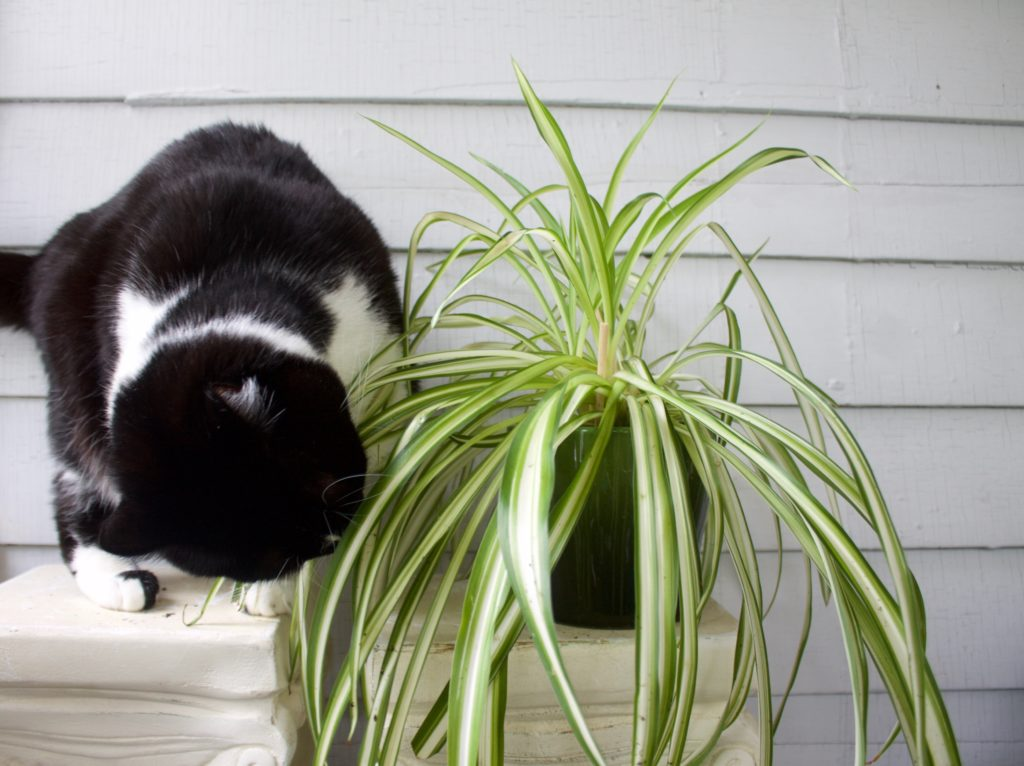 Spider plants and cat