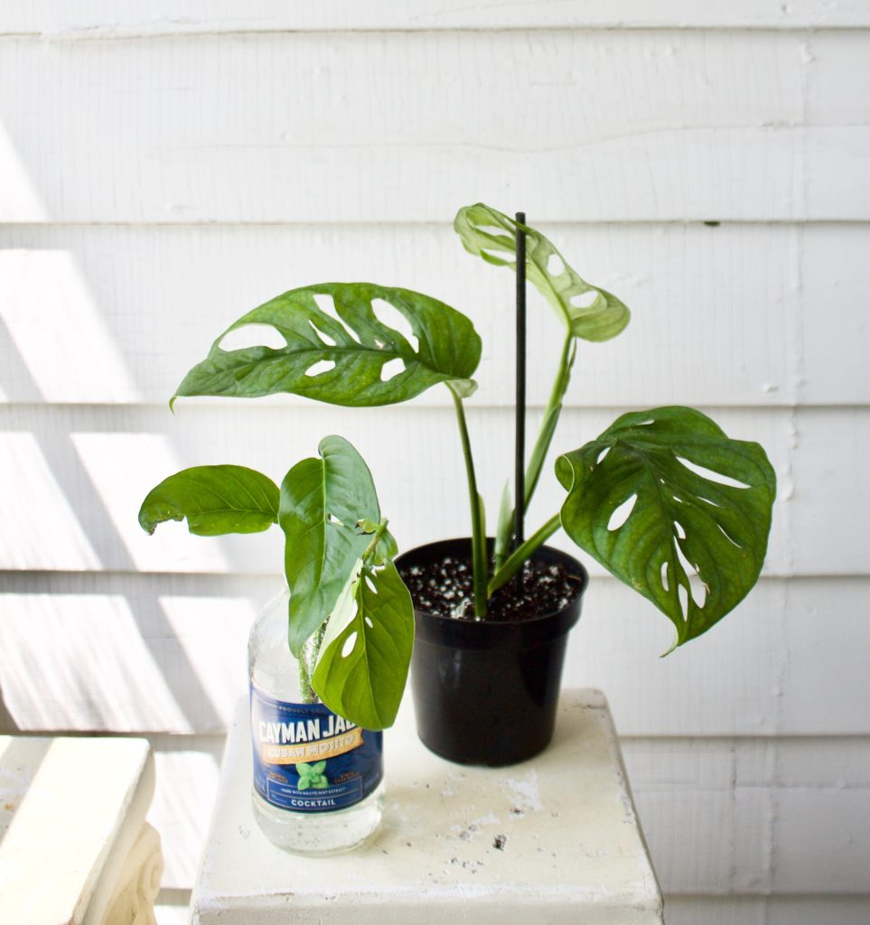 The difference between monstera adansonii and monstera friedrichsthalii