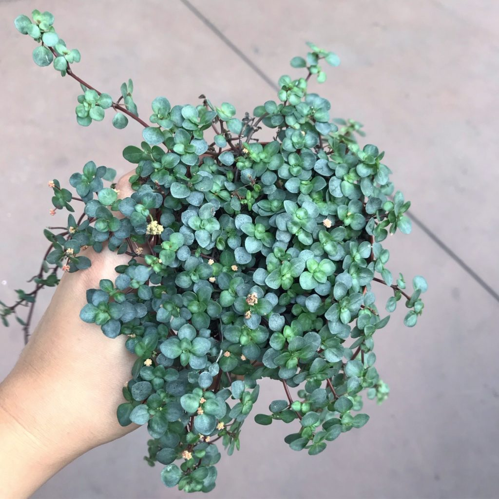 Pilea aquamarine  - safe for pets