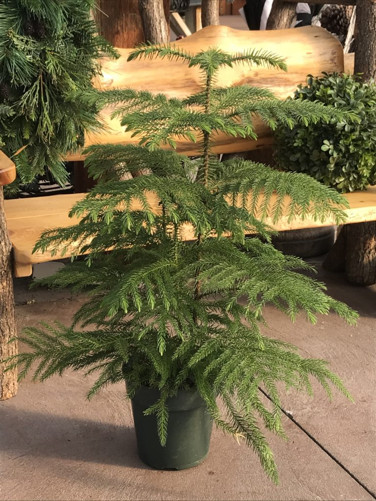Norfolk Pine Tree - Safe for Pets