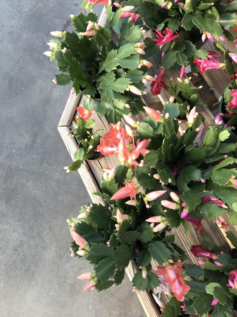 Christmas Cactus - Safe Holiday Plants