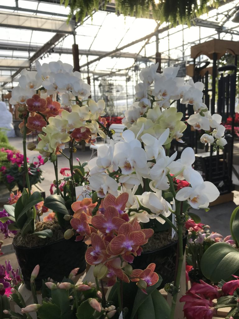 Orchids - Safe Holiday Plants