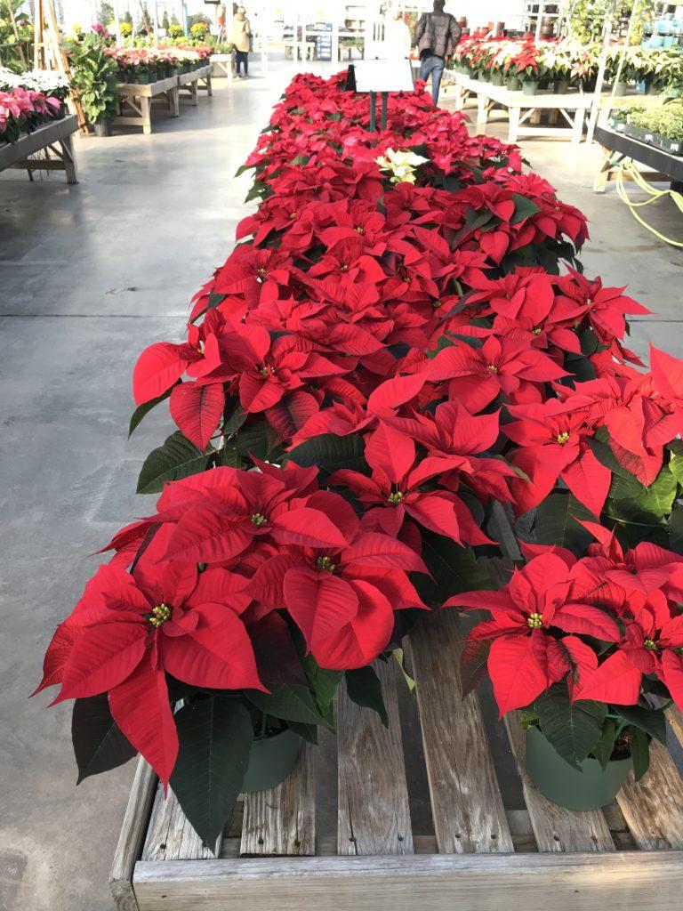 Poinsettia - Non toxic Holiday Plants