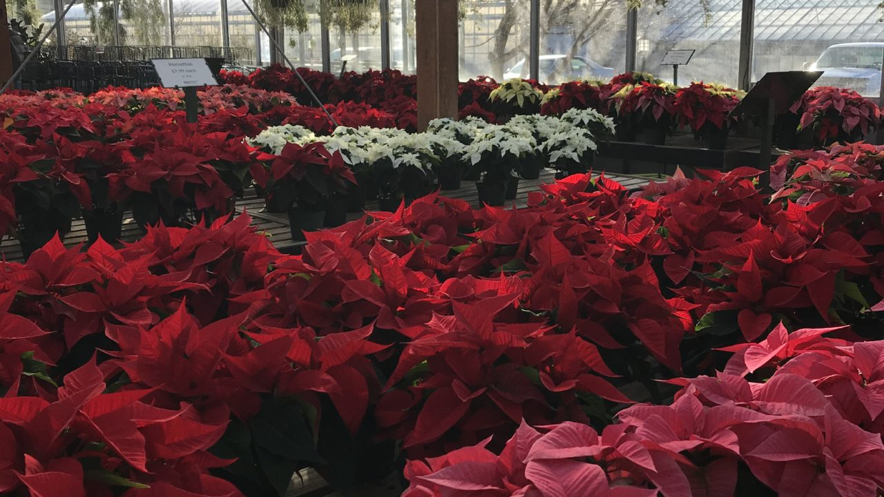 Guide: Safe and Toxic Holiday Plants for Pets