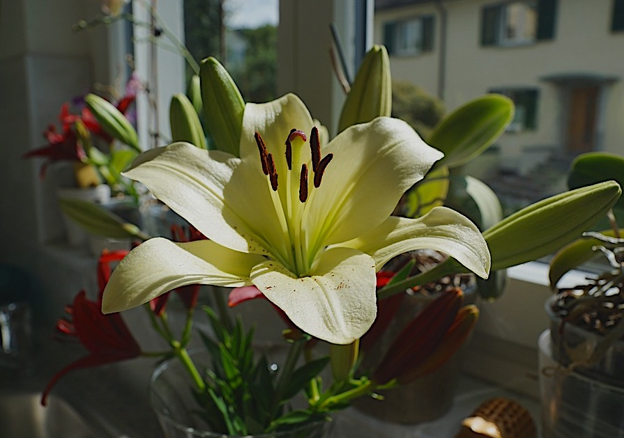 Lily - Toxic Holiday Plants