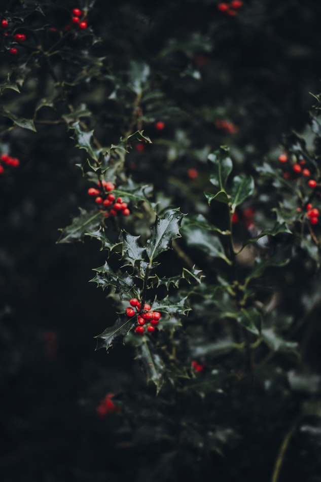 Holly - Toxic Holiday Plants