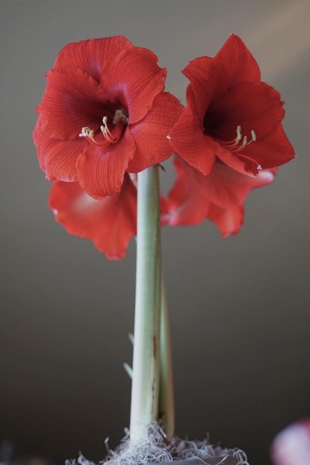 Amaryllis - Toxic Holiday Plants