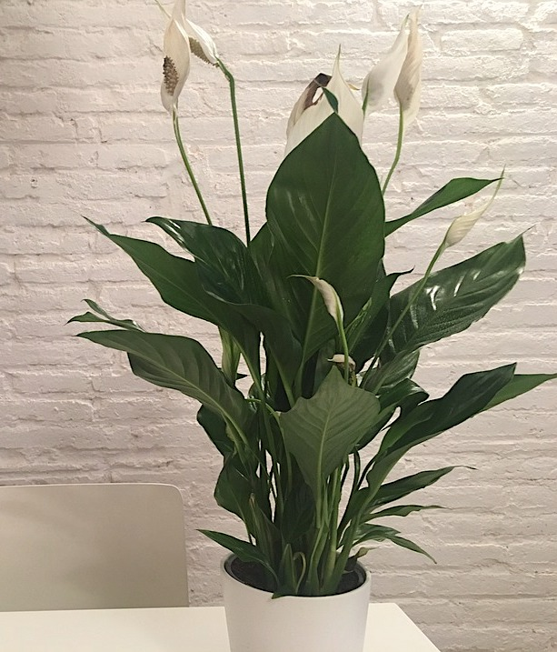 Peace Lily - Toxic Holiday Plants
