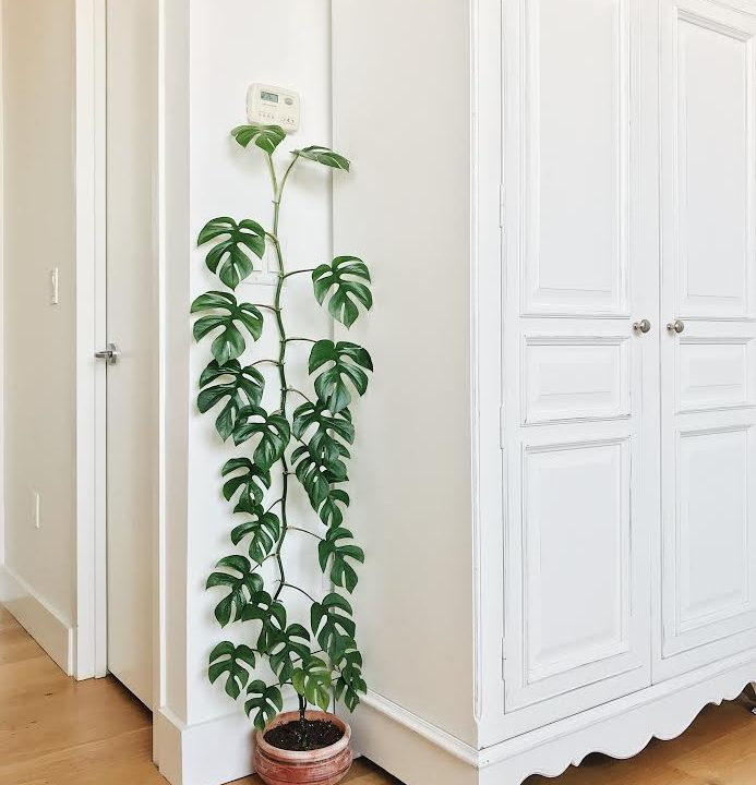 Plant Portrait: Rhaphidophora tetrasperma