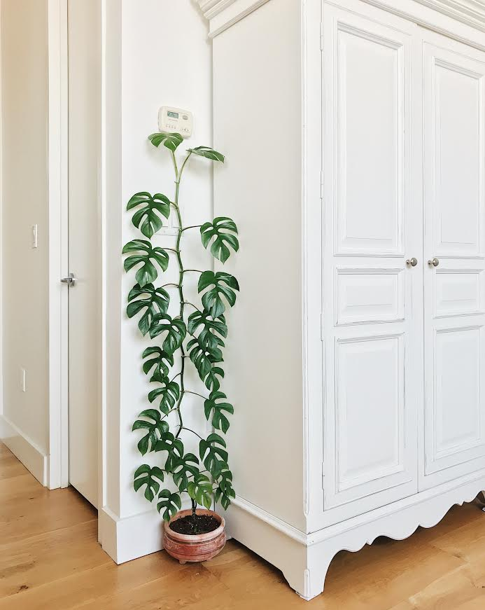 Climbing Mini Monstera