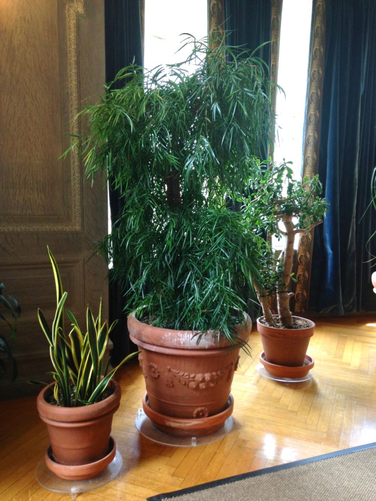 False Aralia, Indoor Tree