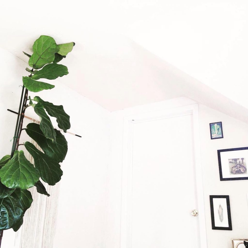 Giant Fiddle Leaf Fig Tree