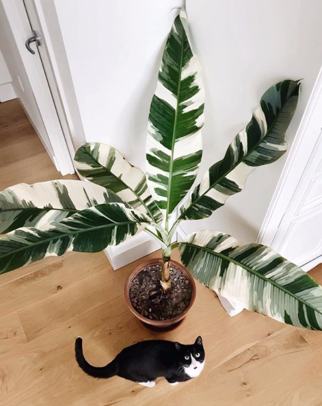 Variegated Banana Tree, safe for pets